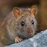 Con chuột là số mấy ? Mơ thấy chuột đánh con gì ?