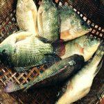 Nằm mơ thấy cá rô phi, cá rô đồng đánh con gì ? tốt hay xấu ?