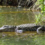 Mơ thấy cá sấu đánh con gì, điềm báo tốt hay xấu ? Con cá sấu là số mấy ?