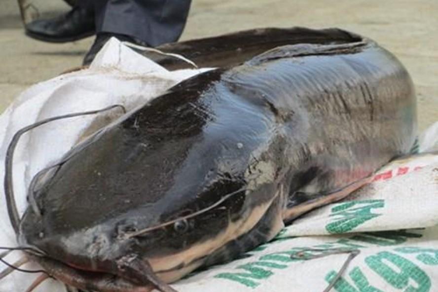 Mơ thấy cá Trê đánh số gì ? tốt hay xấu ? Con cá trê là số mấy ?