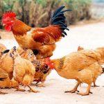 Con gà số mấy ? Nằm mơ thấy gà đánh con gì ? tốt hay xấu ?